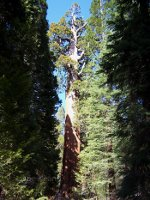 Redwood in California