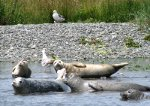 Seals on the Rogue River