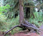 Tree in the Hoh Rainforest