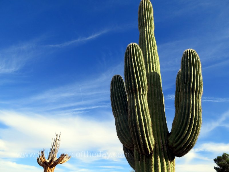 If it stands like a Saguaro, and smells like a Saguaro...