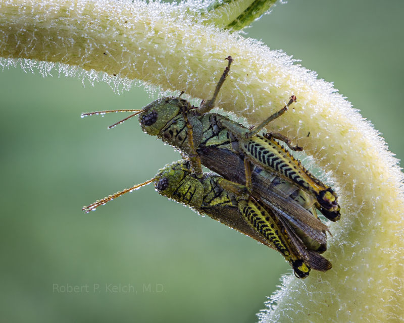 Grasshoppers On A Sunflower