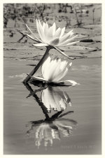 Water Lilly on the Chobe River, Botswana