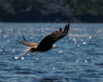 Bald Eagle at Open Hall Bay, Newfoundland, Canada
