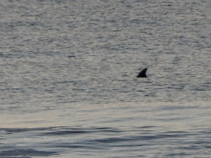 Dolphin off of Avalon, NJ