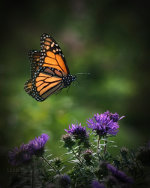Monarch Butterfly in Kansas City, KS