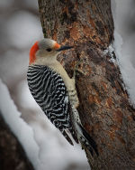 Woodpecker in Lincoln, Nebraska