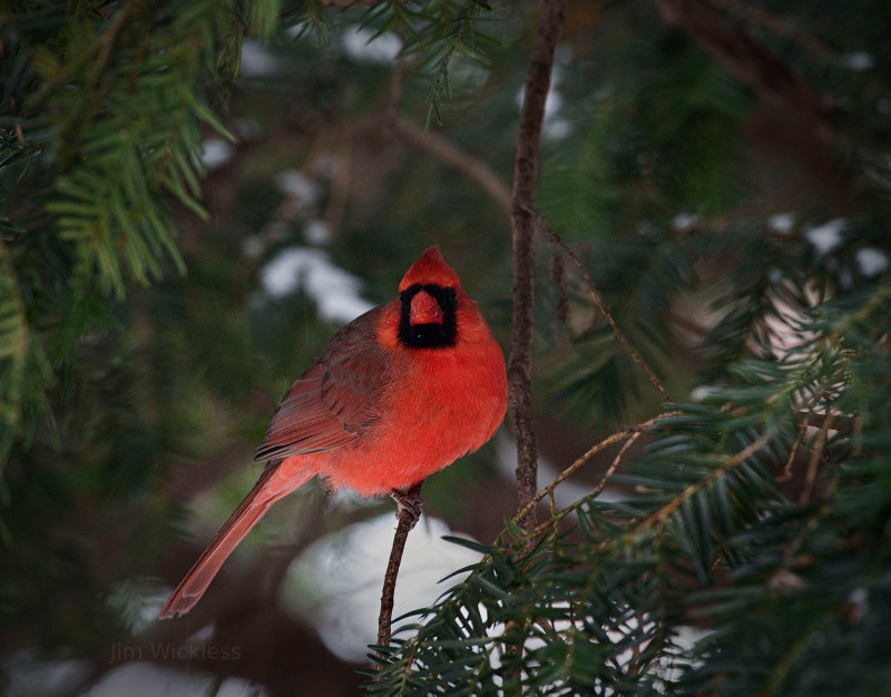 Cardinal in Lincoln, Nebraska