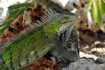 Green Iguana in the Caribbean