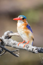 Pretty blue kingfisher in Botswana