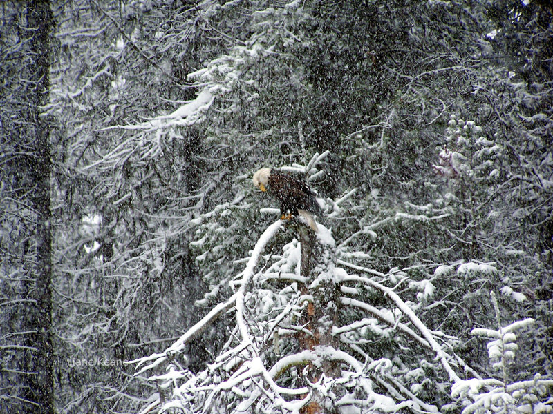 Eagle in Montana