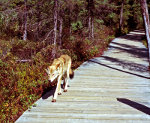 Wolf in Spruce Bog Trail, Algonquin Park, Ontario, Canada