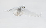 Beautiful Snowy Owl in Barrie, Ontario, Canada.