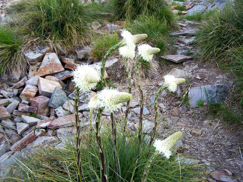 Bear Grass in Montana
