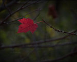 Red maple leaf in Lincoln, Nebraska
