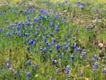 Pretty blue flowers, lupines, near Hetch Hetchy in Yosemite National Park