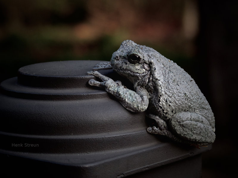Tree Frog in Canada