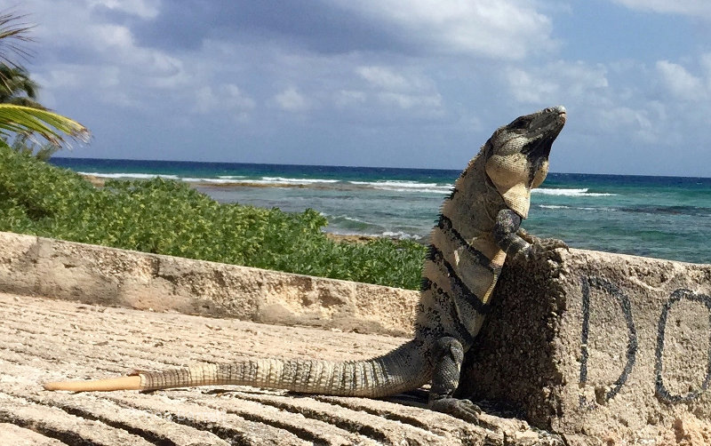 Handsome reptile in Paamul, Mexico