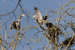 Blue Herons in Washington