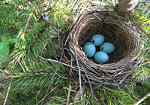 Chipping sparrow nest in spruce sampling, Cotton Lake, Minnesota.
