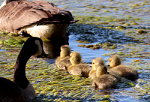 Goslings swimming with their parents