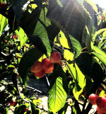 Rainier Cherries growing in Washington State
