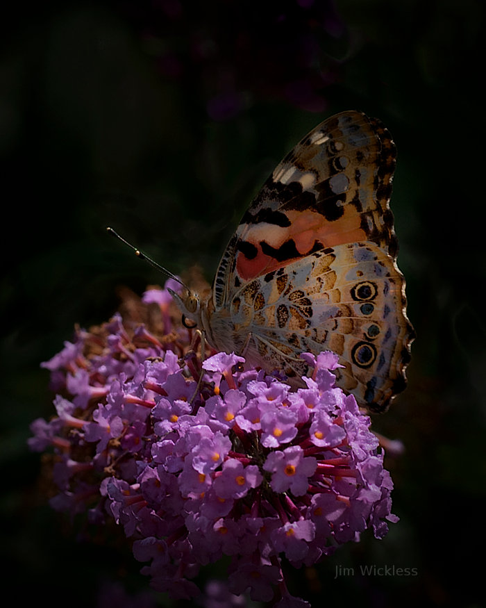 Beautiful butterfly in Lincoln, Nebraska