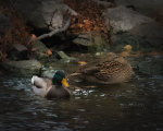 Mallards in Lincoln, Nebraska