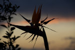 Flower Silhouette at Sunset in Brazil
