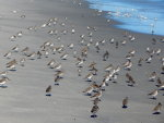 Sand Pipers all over the beach near Avalon, NJ