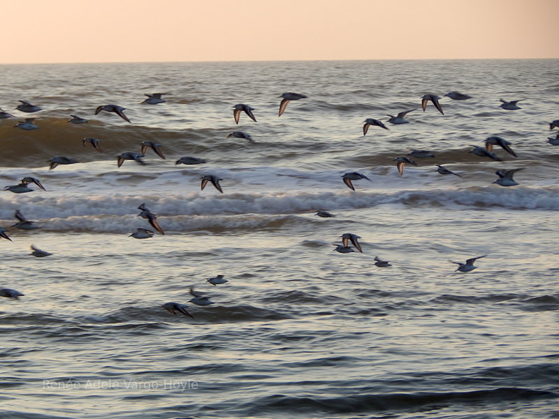Migrating birds in Avalon, NJ