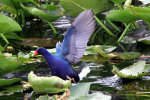 Purple Gallinule in Florida