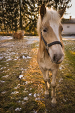 Beautiful horses in Slovenia