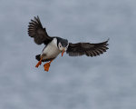 Puffin coming in for a landing at Elliston, Newfoundland, Canada