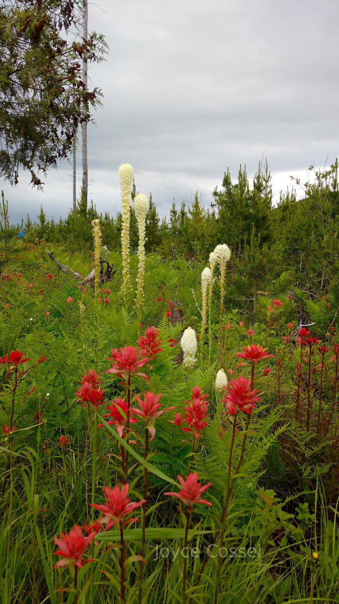 Beargrass and Indian paintbrush in Glacier National Park
