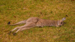 Kangaroo joey in Batemans Bay, NSW, Australia