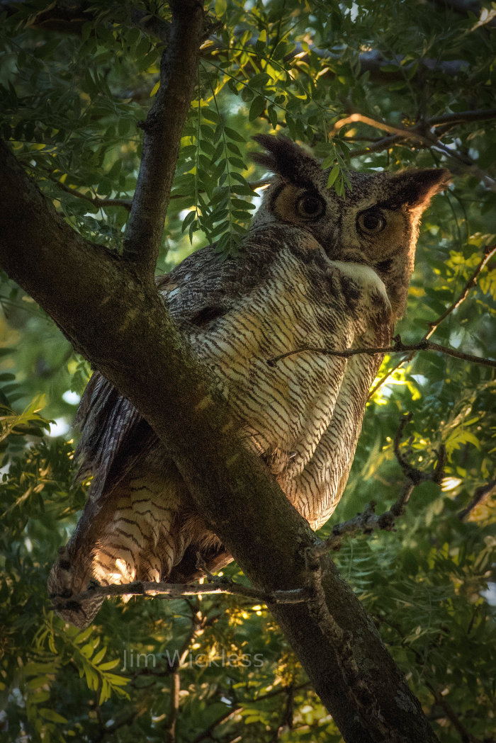 Great horned owl in Lincoln, Nebraska
