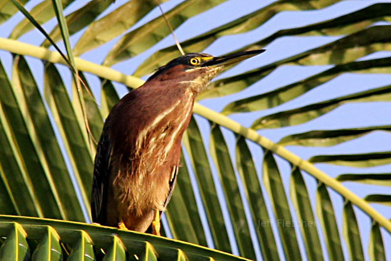 Green Heron in Boca Raton, Florida
