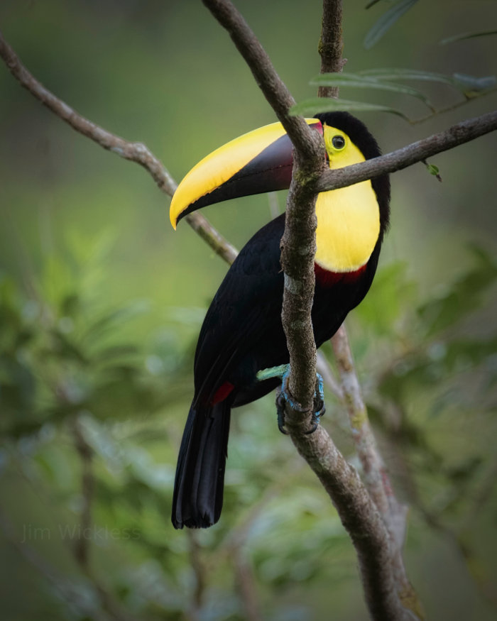 Beautiful Bird in Costa Rica