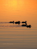 Ducks at Dawn in Minnesota