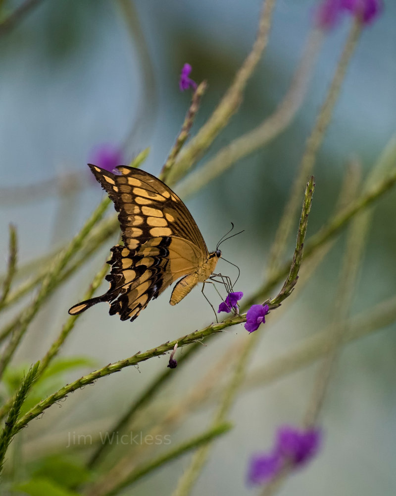 Swallowtail butterfly in Costa Rica