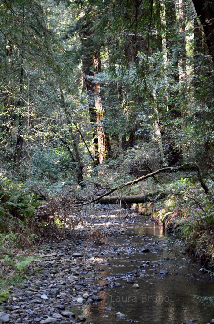 Creek flowing through the redwoods.