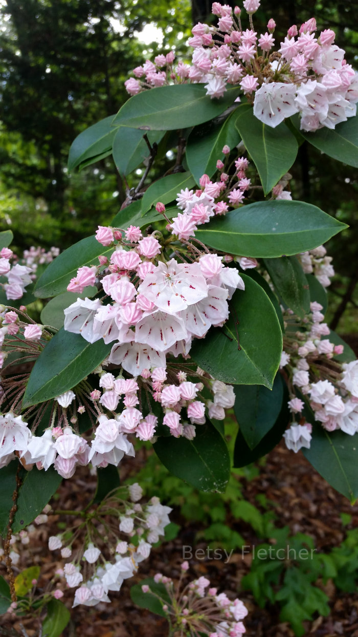 Mountain Laurel in Barboursville, VA