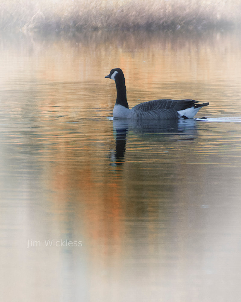Beautiful shot of the goose
