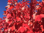 Red leaves in Idaho
