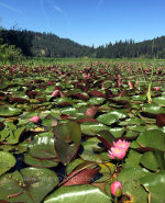 Lily Pads in Idaho