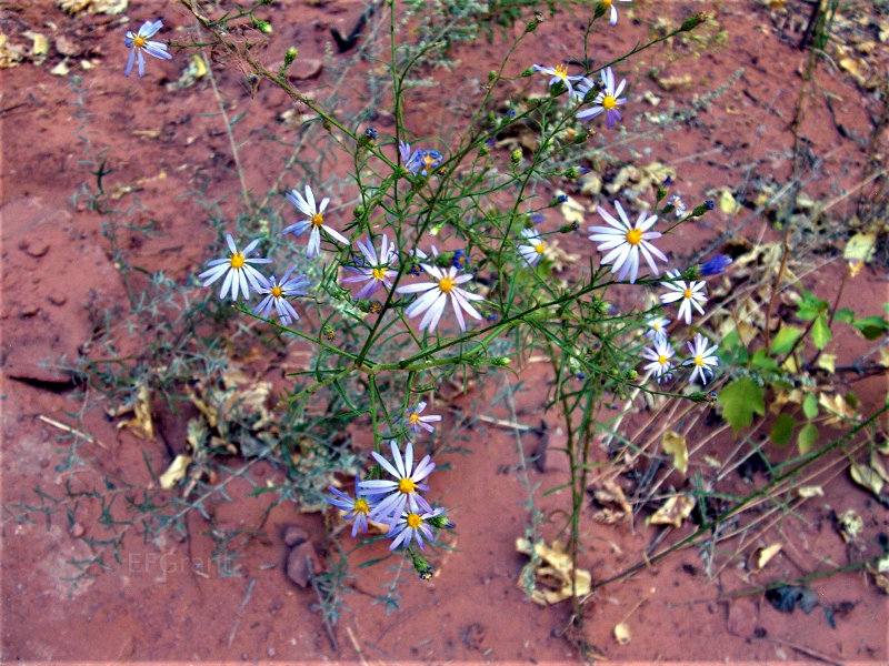 Pretty flowers in Zion National Park