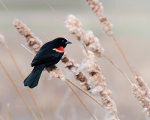 Handsome Red Winged Blackbird in Nebraska.