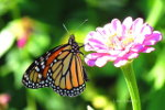 Monarch butterfly in Minneapolis