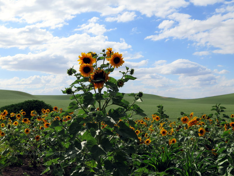 Sunflowers in Idaho