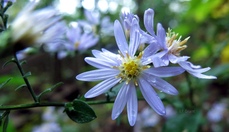 Aster or Michaelmas Daisy in Indiana.